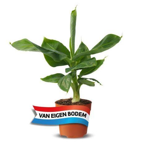 Bananenplant 35-50 cm voor €2,99 @Lidl