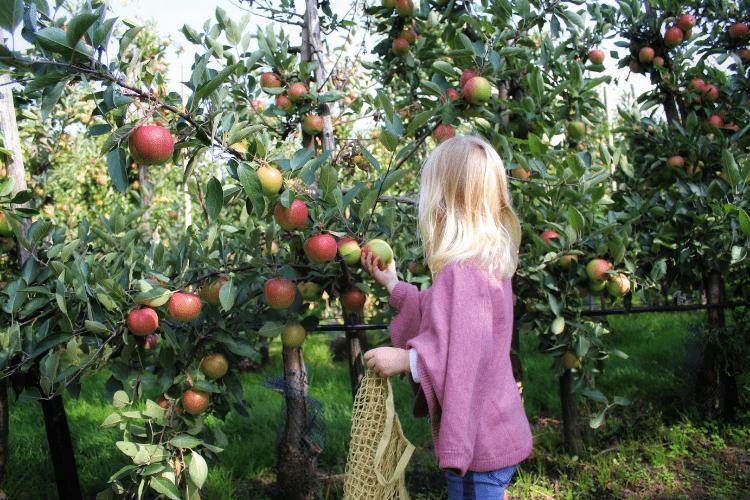 Fruitpluktijd: gratis appels plukken!