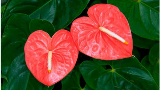 @ANBO De 3.000 eerste genomineerden krijgen op 17 mei gratis een plant (Anthurium) bezorgd