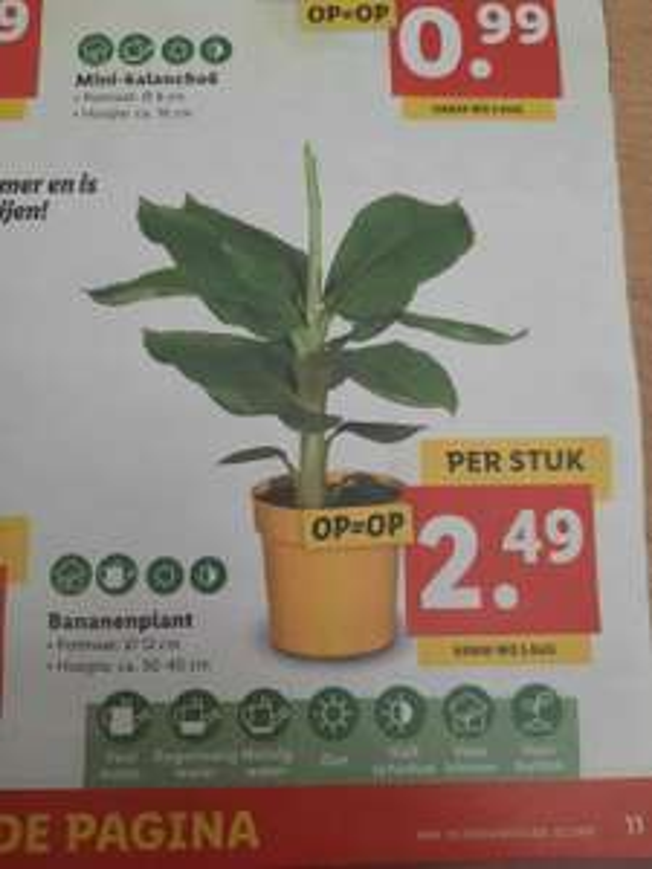 Bananenplant 30-40 cm €2,49 @ Lidl