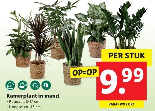 V.A. Woensdag: Lidl kamerplant c.a. 45 cm hoog in 17 cmø mand voor €9,99