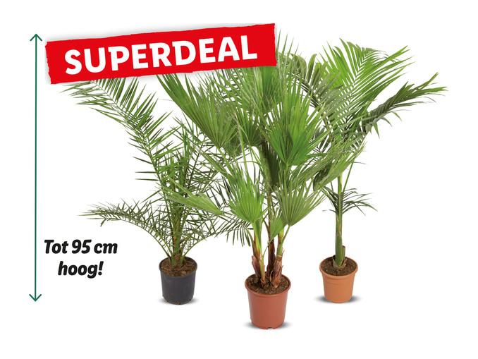 V.a. 14-10: Palmboom tot 95 cm hoog of Alocasia tot 75 cm hoog voor €9,99 p.s. @ Lidl winkels