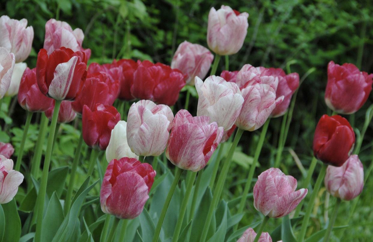 250 Tulpenbollen voor kwekersprijs
