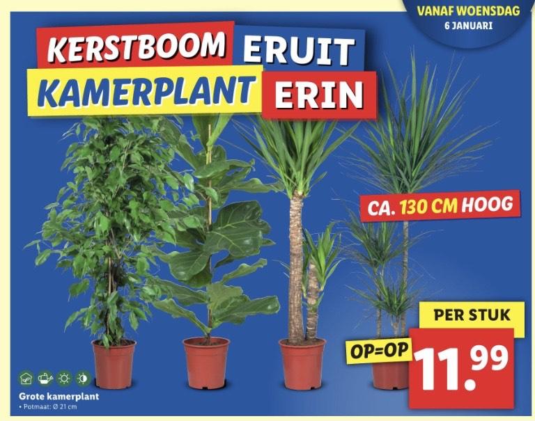 Grote kamerplant van circa 130 cm @Lidl