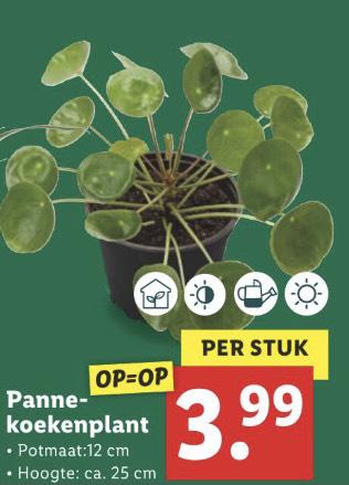 Pannekoekenplant 25 cm @Lidl