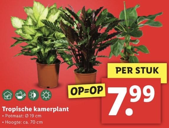 Tropische kamerplant 70 cm @Lidl