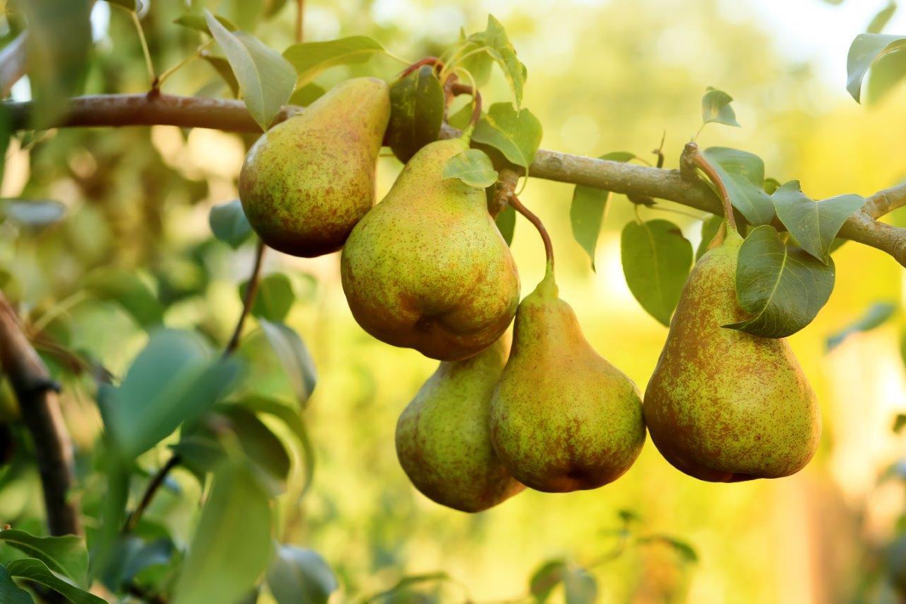 [LOKAAL] Welwonen deelt gratis 1500 perenbomen uit [Enkhuizen]