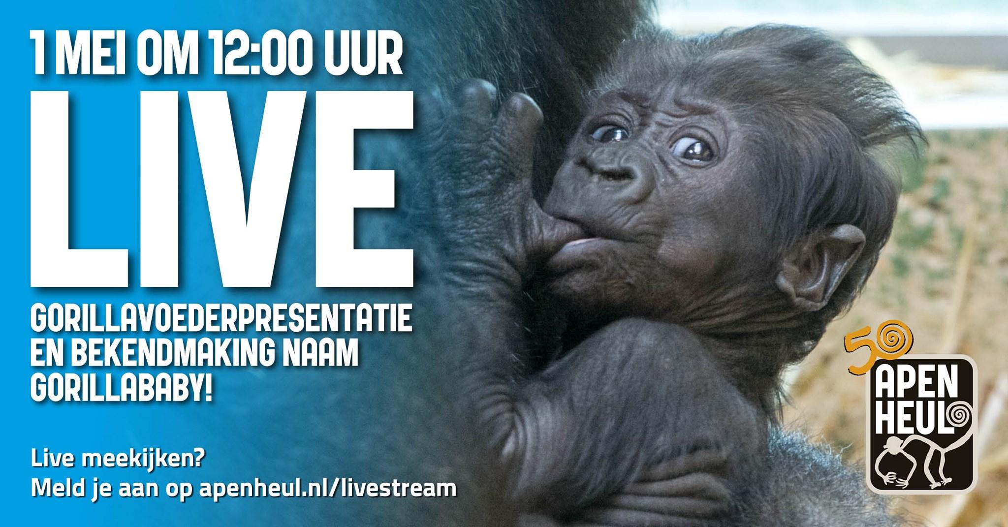 [01/05 om 12uur] De Apenheul streamt weer live gorillavoederpresentatie