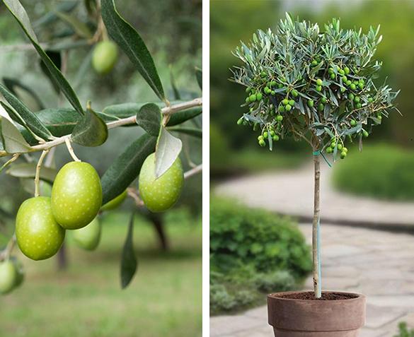 50% korting op olijfbomen voor in NL tuin @ Groupdeal