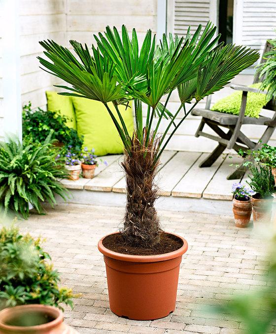 [prijsfout?] - Trachycarpus fortunei winterharde palboom van 19,95 voor 1,95
