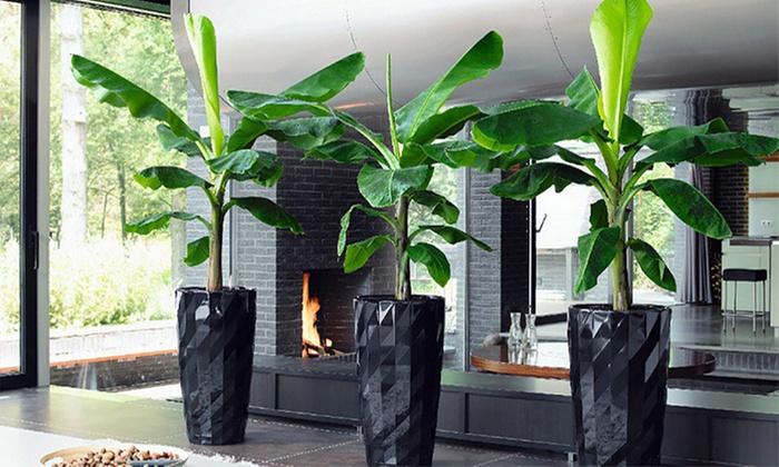 Bananananananen plant [2 stuks]