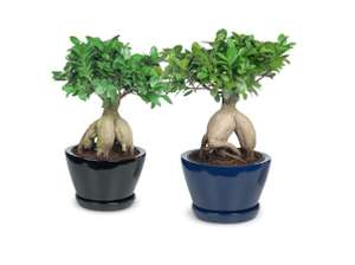 Bonsaiboompje (Ficus Ginseng) @Lidl