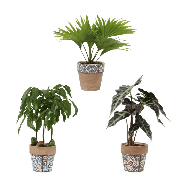 Kamerplanten inclusief decoratieve pot vanaf €3,99 @ Aldi