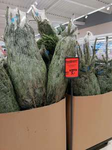 LIDL Echte Nordmann Kerstboom (Foto Lidl Emmen Stad)