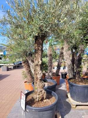 Tot 50%korting op oude palmbomen en olijfbomen( intratuin )