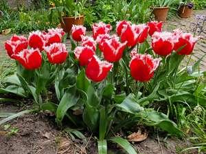 Amsterdam: gratis 35 tulpenbollen