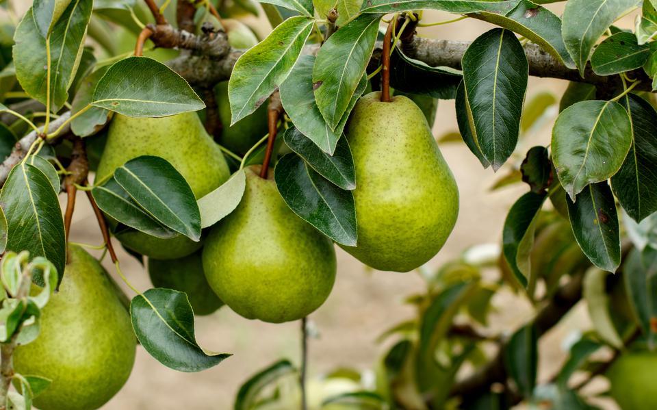 Gratis peren boom voor inwoners van Breda