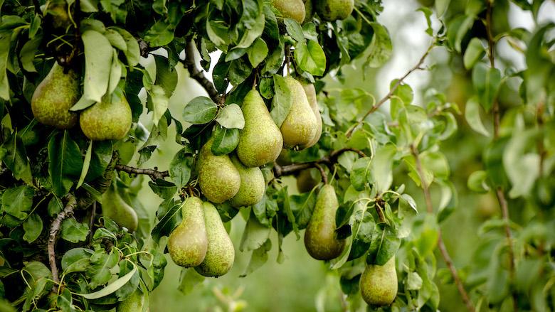 Vijf perenbomen in ruil voor een oude vervuilende koelkast