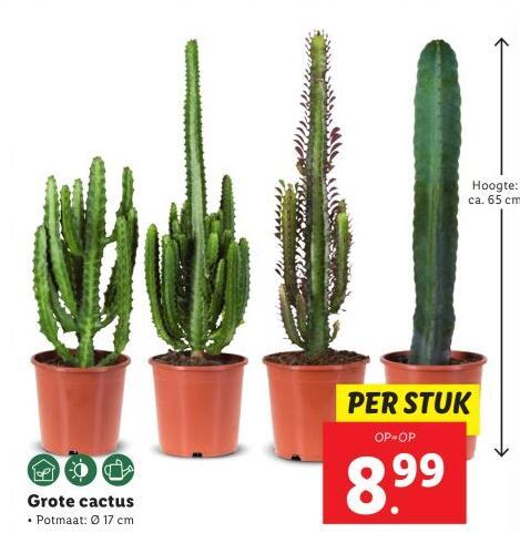 vanaf 23-06: ca 65 cm hoge cactus voor €8,99 bij Lidl